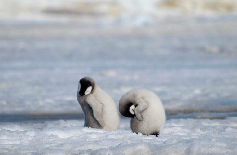 Casi todas las colonias de pingüinos emperador estarían casi extintas para el 2100, según un estudio